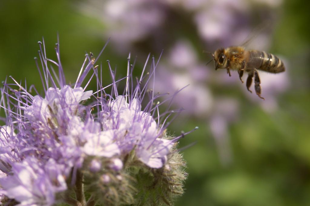 6603e176ddf8fb prawidłowe stosowanie środków ochrony roślin i ochrona pszczoły miodnej